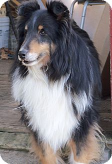 Sheltie, Shetland Sheepdog Dog for adoption in Stony Brook, New York - Gadget