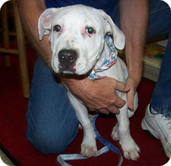 American Bulldog/American Staffordshire Terrier Mix Puppy for adoption in Libertyville, Illinois - Petunia