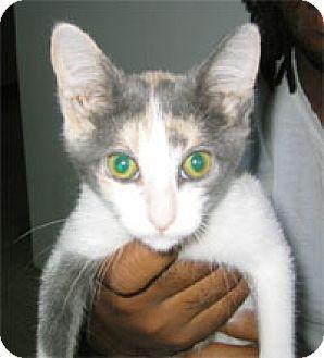Calico Kitten for adoption in Garland, Texas - Monet