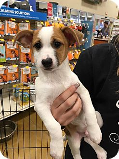 Chihuahua/Jack Russell Terrier Mix Puppy for adoption in Sugar Grove, Illinois - Axel