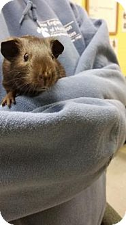 Guinea Pig for adoption in Lowell, Massachusetts - Jax