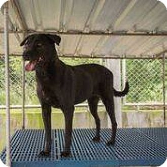 Labrador Retriever/Terrier (Unknown Type, Medium) Mix Dog for adoption in Toronto, Ontario - Lassie