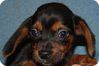 Beagle Mix Puppy for adoption in Colonial Heights, Virginia - Toby