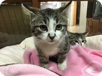 Domestic Shorthair Kitten for adoption in Medina, Ohio - Paige