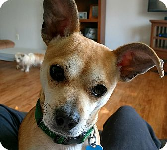 Chihuahua/Miniature Pinscher Mix Dog for adoption in Holland, Ohio - Mickey