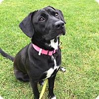 Adopt A Pet :: MINNIE - Media, PA