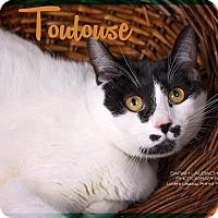 Adopt A Pet :: Toulouse - Cincinnati, OH