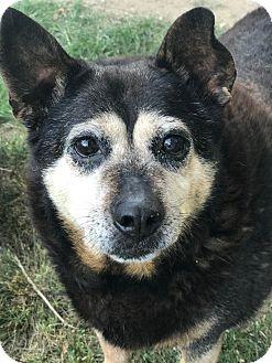 Shepherd (Unknown Type)/Blue Heeler Mix Dog for adoption in Battleboro, Vermont - Amber