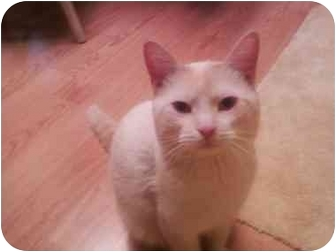 Siamese Cat for adoption in Bay City, Michigan - Gabe~~ADOPTED~~