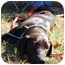 Photo 2 - Labrador Retriever/Hound (Unknown Type) Mix Dog for adoption in Cumming, Georgia - Hud