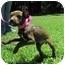 Photo 2 - Labrador Retriever Mix Puppy for adoption in Mahwah, New Jersey - Cinnamon