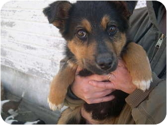 Australian Shepherd/German Shepherd Dog Mix Puppy for adoption in Wauseon, Ohio - collie puppy