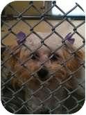 Maltese/Poodle (Miniature) Mix Dog for adoption in Brookline, Massachusetts - Deliah