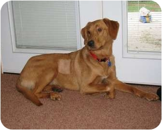 Golden Retriever Mix Dog for adoption in Seattle c/o Kingston 98346/ Washington State, Washington - Jewels