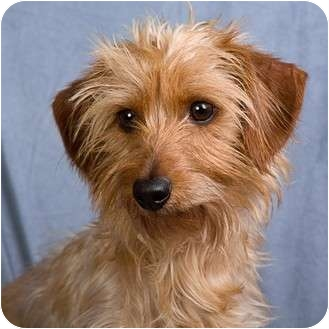 Dachshund/Yorkie, Yorkshire Terrier Mix Dog for adoption in Anna, Illinois - JAKE