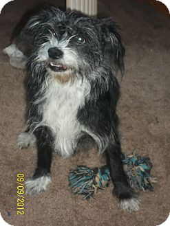 Schnauzer (Miniature)/Terrier (Unknown Type, Small) Mix Dog for adoption in West Hartford, Connecticut - Pepper- In CT