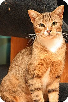 American Shorthair Cat for adoption in Lombard, Illinois - Acadia