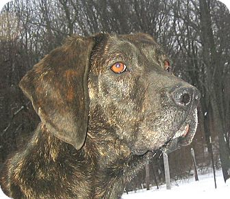 Plott Hound Dog for adoption in Jacksonville, Florida - Sport