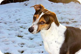 Foxhound Mix Dog for adoption in berwick, Maine - Jocelyn
