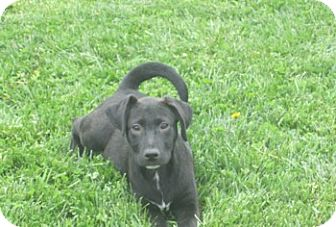 Labrador Retriever Mix Puppy for adoption in Richmond, Virginia - Raisin