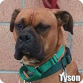 Boxer Dog for adoption in Encino, California - Tyson