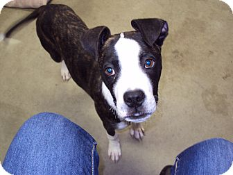 Boxer Mix Dog for adoption in BLACKWELL, Oklahoma - Dax