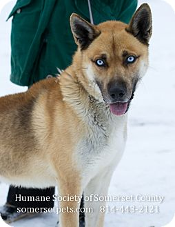 Husky Mix Dog for adoption in Somerset, Pennsylvania - Koda