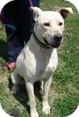 Labrador Retriever/Terrier (Unknown Type, Medium) Mix Dog for adoption in Albany, New York - Dudley ($200 adoption fee)