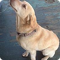 Adopt A Pet :: Brandy - maryville, TN