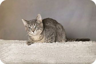 Domestic Shorthair Cat for adoption in Charlotte, North Carolina - A..  Johnny