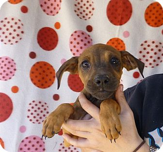 Beagle Mix Puppy for adoption in Oviedo, Florida - Nevelle