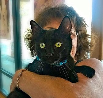 Domestic Shorthair Cat for adoption in Palm Springs, California - Manford