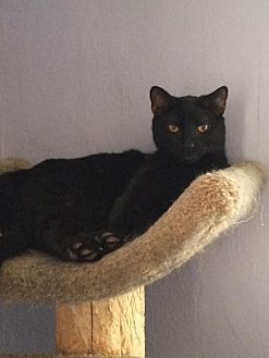Domestic Mediumhair Cat for adoption in East Stroudsburg, Pennsylvania - Eight Ball