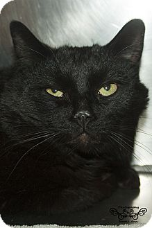 Domestic Mediumhair Cat for adoption in Huachuca City, Arizona - Thomas