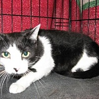 Domestic Shorthair Cat for adoption in Logan, Utah - Chiquita