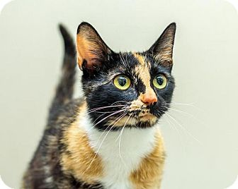 Domestic Shorthair Cat for adoption in Bellingham, Washington - Georgette