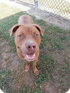 American Pit Bull Terrier Mix Dog for adoption in Colonial Heights, Virginia - DJ