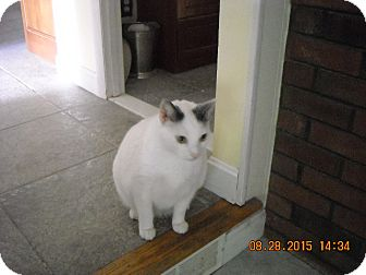 Domestic Shorthair Cat for adoption in Riverside, Rhode Island - Lucky