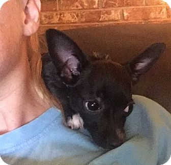 Chihuahua Mix Puppy for adoption in Chattanooga, Tennessee - Carly