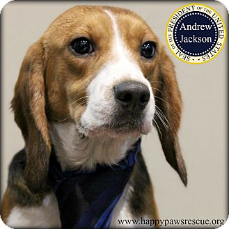 Beagle Dog for adoption in South Plainfield, New Jersey - Andrew Jackson