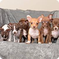 Adopt A Pet :: Latte's Puppies - Chicago, IL