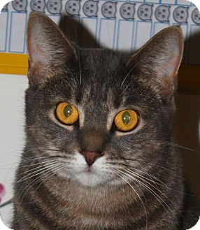 Domestic Shorthair Cat for adoption in North Branford, Connecticut - Sylvia