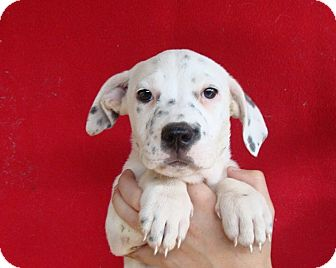 Corgi/Beagle Mix Puppy for adoption in Oviedo, Florida - Alina