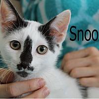 Domestic Shorthair Kitten for adoption in Wichita Falls, Texas - Snoopy