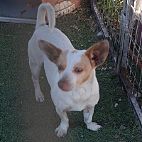 Jack Russell Terrier/Chihuahua Mix Dog for adoption in San Pablo, California - MOCHA