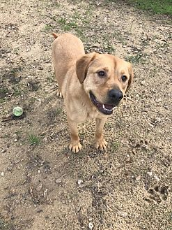 Golden Retriever Mix Dog for adoption in Jackson, Mississippi - Charlie