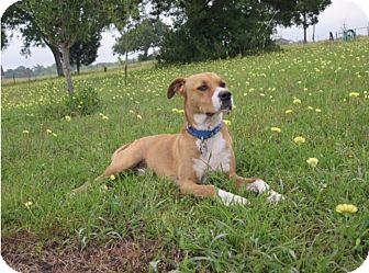 Retriever (Unknown Type)/Staffordshire Bull Terrier Mix Dog for adoption in Houston, Texas - Luke