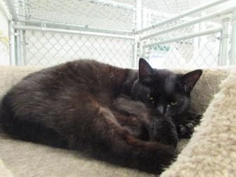 Domestic Shorthair/Domestic Shorthair Mix Cat for adoption in Ridgely, Maryland - MiMi
