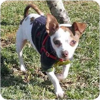 Chihuahua Puppy for adoption in San Clemente, California - PAUL