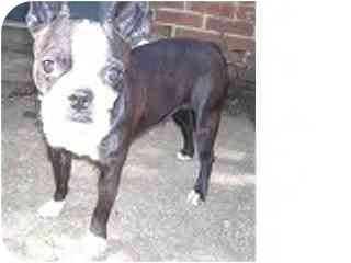Boston Terrier Dog for adoption in Cole Camp, Missouri - Miss Effie